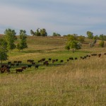 Sustainable grazing conservation easement in Pope County, MN. Photo courtesy of Minnesota Land Trust / Paul Raymaker, photographer.