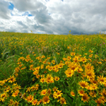 Field of sunflowers on Erbe Prairie. Courtesy of The Prairie Enthusiasts (WI)/Joshua Mayer, photographer.